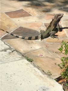 Iguana in the BVI